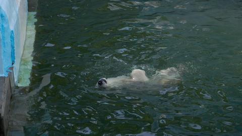 Polar bear cub playing in water Footage