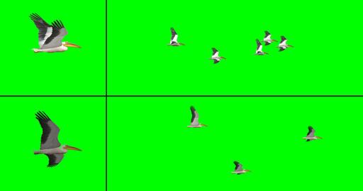 Flock of Birds - Pelicans CG動画