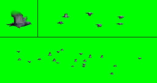 Flock of Birds - Pigeons CG動画