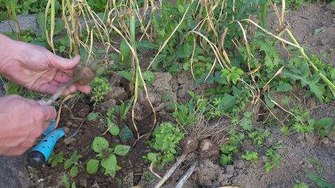 Harvesting garlic in the garden. Gardener harvesting ripe garlic in the vegetable garden Live Action