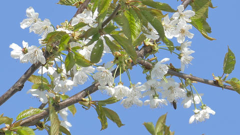Cherry flowers on clear blue sky Footage