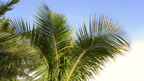 Green palms waving in the wind Live Action