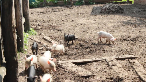 piglets on the farm Live Action