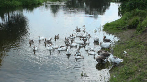 flight of white geese swimming on the water Footage