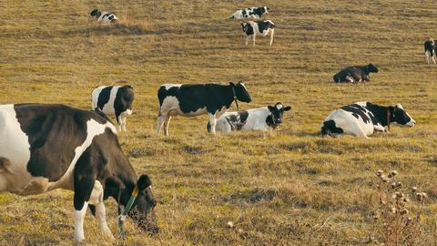 4K Cows in Field / Cows Farm / Grazing Cows Footage