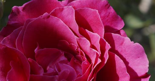Pink rosebud in garden Live Action
