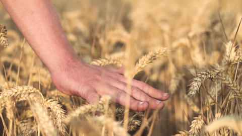 Hands of farmer close up touching wheat ear at sunset, agriculture concept Footage