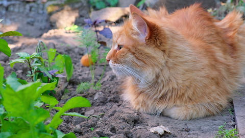 big adult cat lies on the ground and falls asleep Acción en vivo