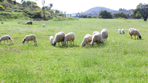 Sheep Feeding On Grass Footage