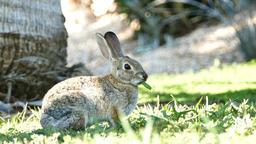 Beautiful wild rabbit eating grass Footage