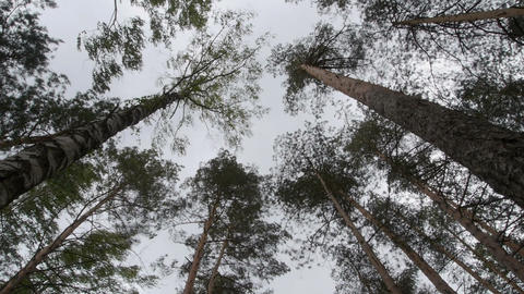 Tall trees moved by strong wind Footage