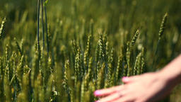 Closeup view of woman's arm walking on wheat field Footage
