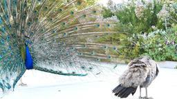 Beautiful peacock showing its fan Footage