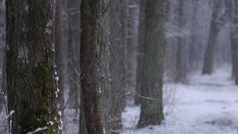 The trunks of Trees in the Forest. Snowfall in Winter Pine Forest.Winter Footage