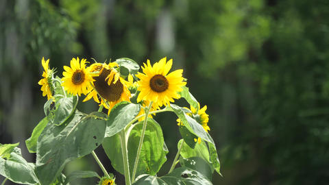 Tokyo,Japan-July 26, 2019: Sunflowers beyond fountain in the park Live Action