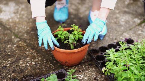 Gardening. Girl is working in garden of bushes hydrangea. Woman gardener waters Footage