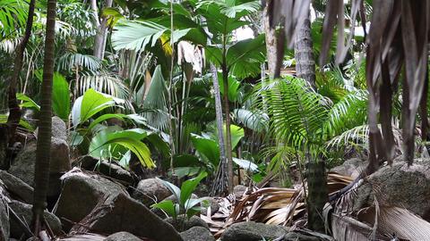 Wild palm tree forest at Praslin island, Seychelles Footage