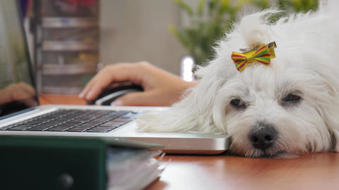 4-Business Woman Typing PC In Office With Dog Sleeping Footage