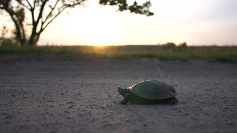 Small turtle crawling on a country road at a lake at sunset in slow motion Live Action