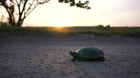 Funny turtle creeping on a country lane at a lake at sunset in slow motion Live Action