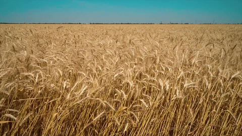 Wheat Field close up. Golden wheat field isolated, Nature landscape Health Live Action