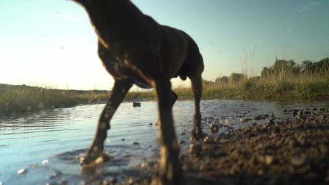 Slow motion of a group of playful pedigreed Deutsch kurzhaar dogs are running Footage