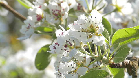 Beautiful pear flowers Footage