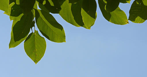 Green Tree Leaves On Blue Sky Footage