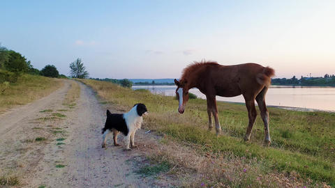 Animal communication concept as a young foal and a pup exchanging glances and expressions. Mammal Footage