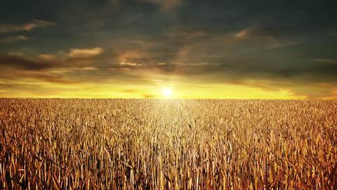 Grain field at sunset Animation
