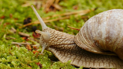 Helix pomatia, edible snail or escargot, is a species of large, edible, air Live Action