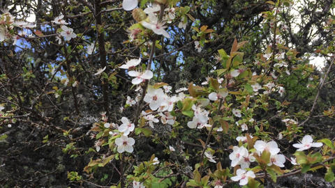 Blossom cherry tree in summer garden. Blooming branches of wild apple tree Live Action