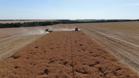 Colza fields during harvesting season, combine harvesters are processing, 4k Live Action