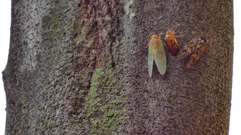Changing color of new born cicada wingsa Live Action