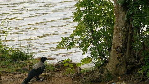 Gray raven stands by the river Live Action