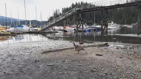 Getting closer to Canada Geese on the shore Acción en vivo
