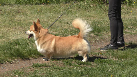 Dog breeds of Welsh CORGI-Pembroke Footage