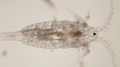 Microscopic aquatic crustacean zooplankton Copepod Diaptomidae Live Action