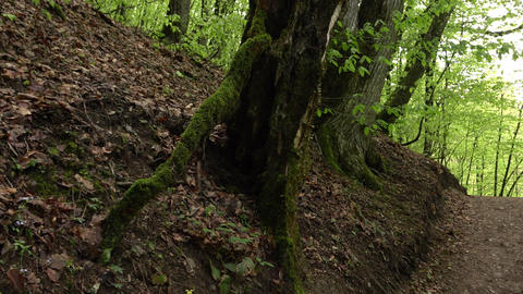 Old bevel tree with big roots covered with moss beside ground path Footage
