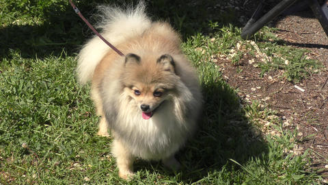 Dog breeds of small German Spitz Footage