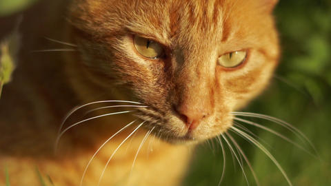 Close-up red cat goes forward among greenery in slow motion Live Action