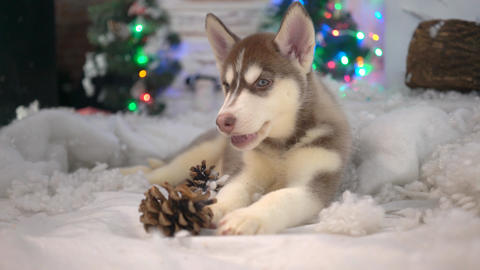 Little Puppy On The Christmas. Christmas Decorations. Happy Christmas Live Action