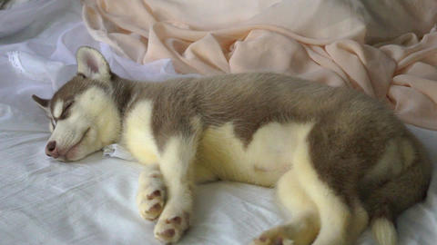 Cute Siberian Husky Puppy Sleeping Live Action