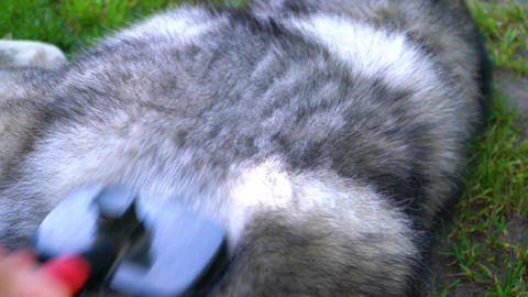 Gray fluffy husky combed with a brush for wool Live Action