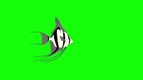 Small Silver Scalare Angelfish Chroma Key Animation