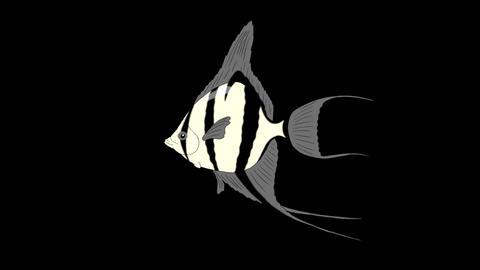 Silver Scalare Angelfish Alpha Matte looped Videos animados