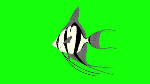 Silver Scalare Angelfish Chroma Key looped Animation