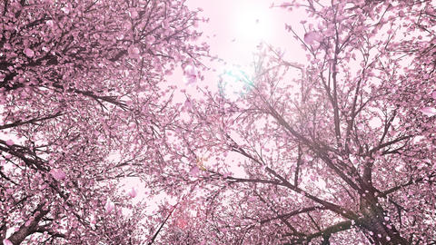 Cherry forest, upward, rotation, loop, pink background Animation