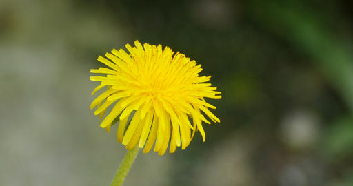flower yellow dandelion close-up Live Action