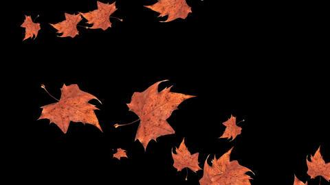 Autumn falling leaves on black background Animation